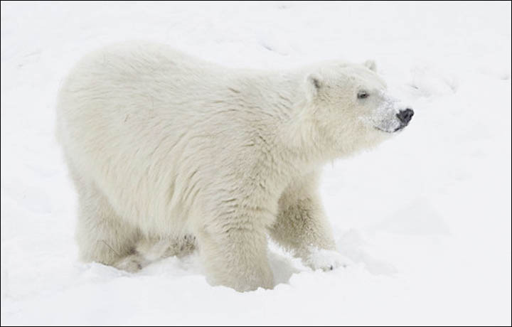 Lomonosov polar bear
