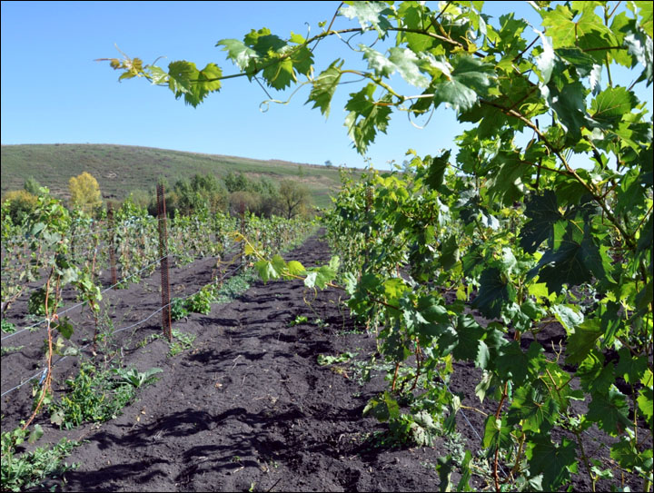 Coming soon: 'Chateau Permafrost', wine from Siberia