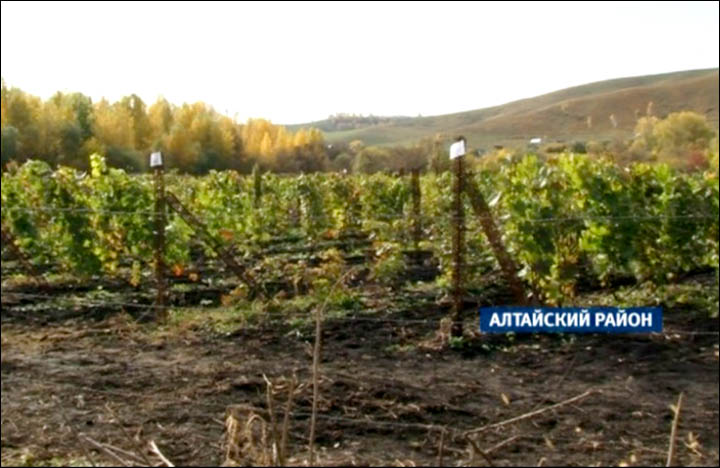 Siberia gets its own Pinot Noir and Chardonnay