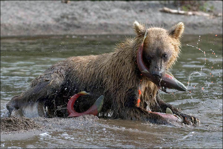 Bear on Kamchatka