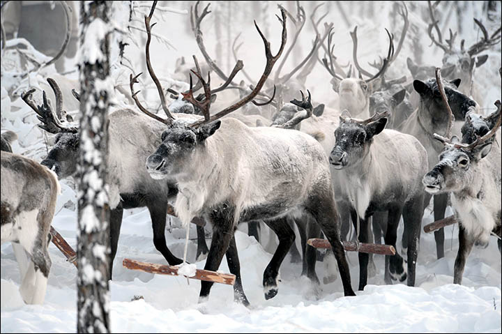Sanctions can give a major boost to reindeer meat industry in Siberia