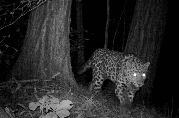 Amur Leopard the Far East of Russia