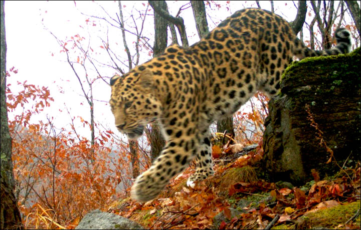 Amur Leopard the Far East of Russia