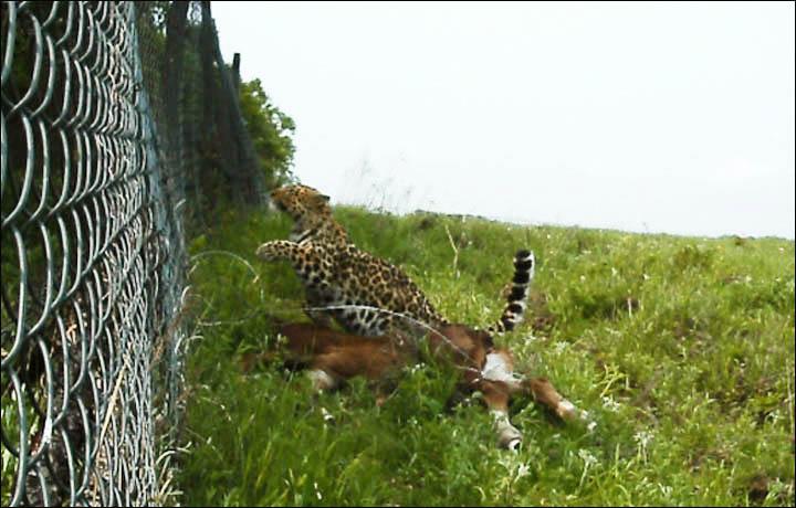 Amur leopard hunts livestock