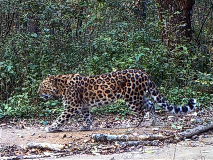 Leopards in China