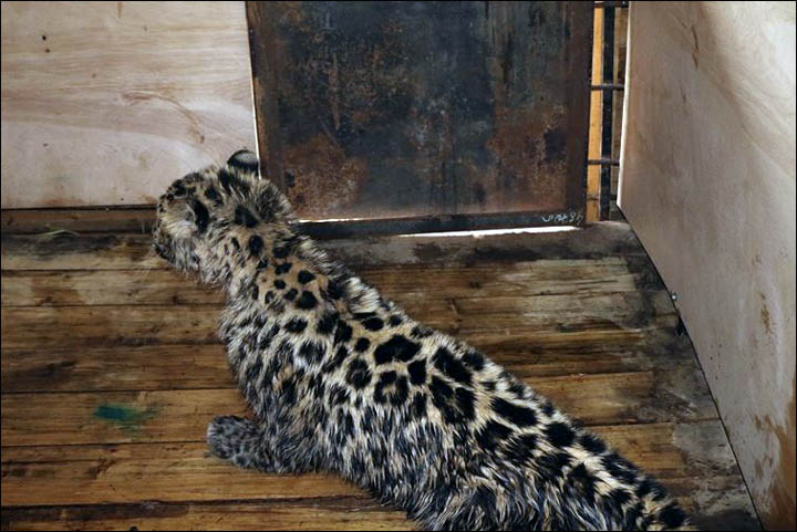 Amur leopard injured