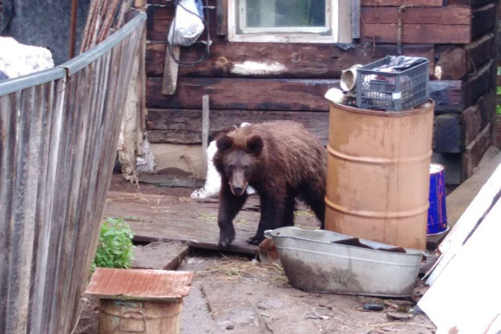 Aggressive bear in Zamzor village