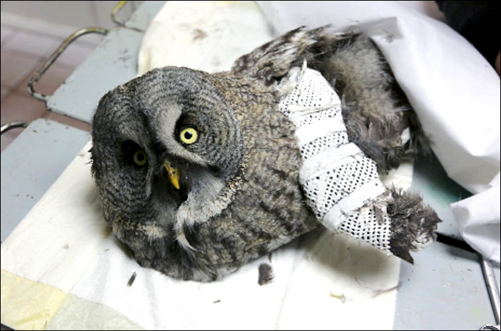 Giant Great Grey Owl hitches a lift on epic 5,700 miles journey to Moscow after injuring itself hunting