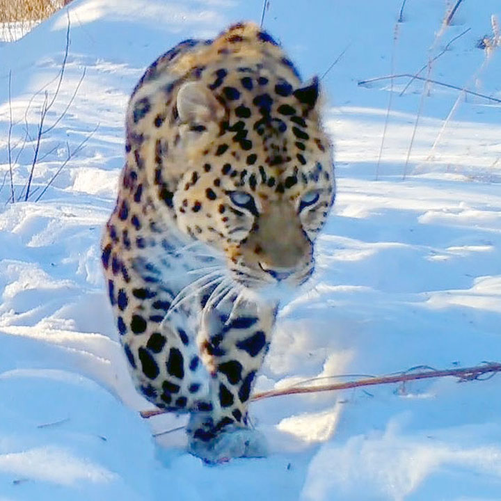 rescued Amur leopard sent half across country to cure back tumour
