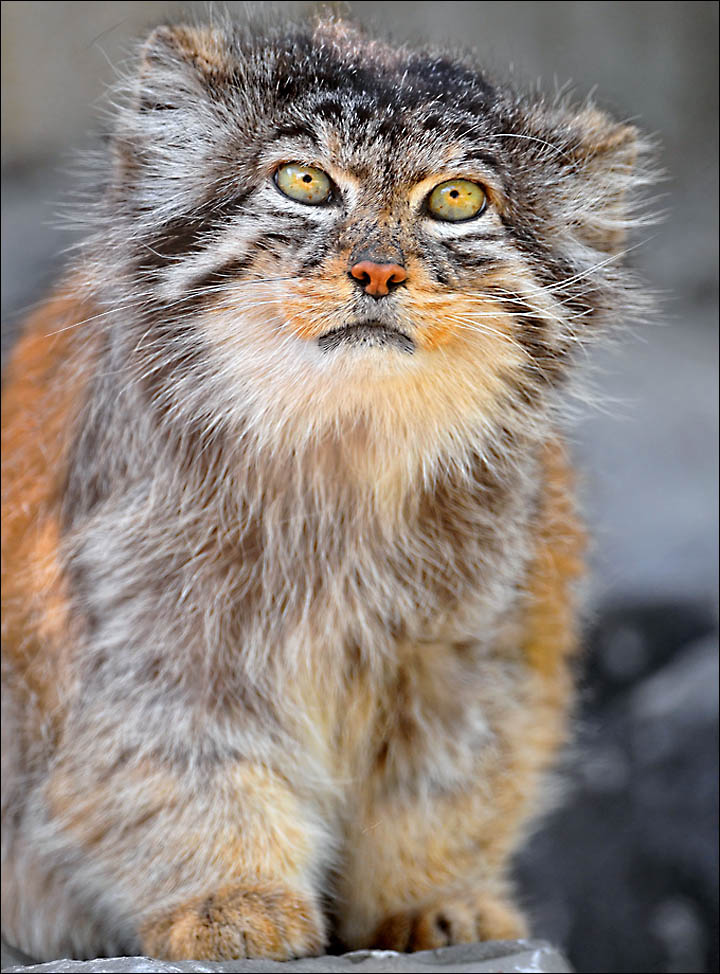 Manul the world's fluffiest cat