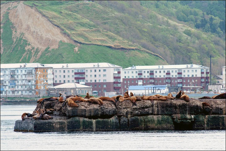 Rookery of Steller sea lions