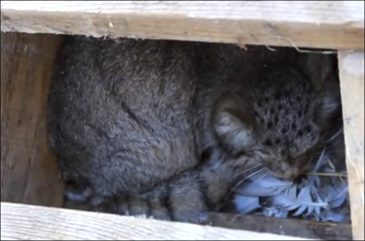 Pallas cat rescued