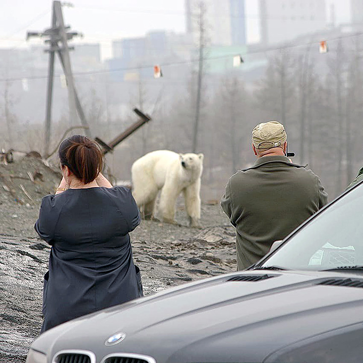 Starving polar bear spotted in Russian city, far from normal habitat