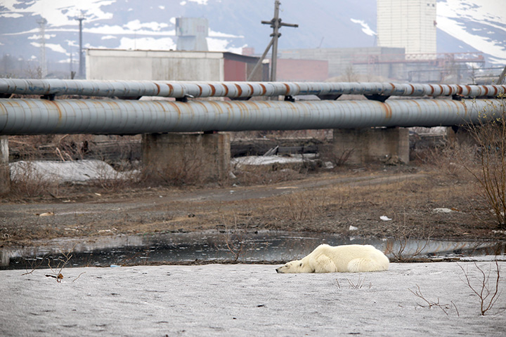 Starving polar bear spotted in city, far from normal habitat