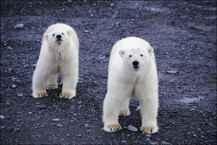 Polar bears around Ryrkaipyi