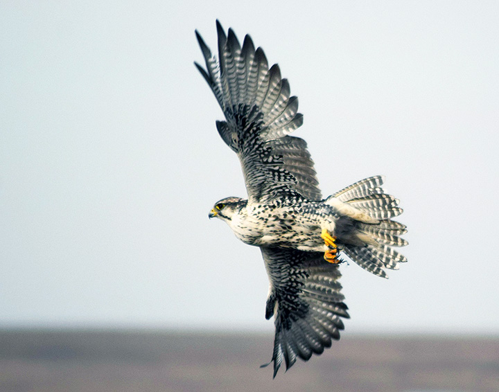 Rare Siberian Saker Falcon illegally caught and sold for whopping 42,000 US dollars to a buyer from an Arab Emirate