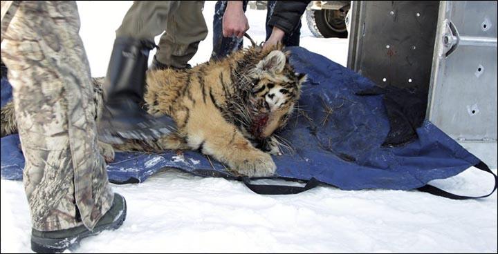 Siberian tigers poaching - photo#48