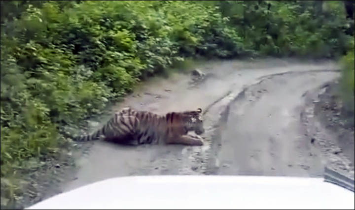 Siberian tiger on the road