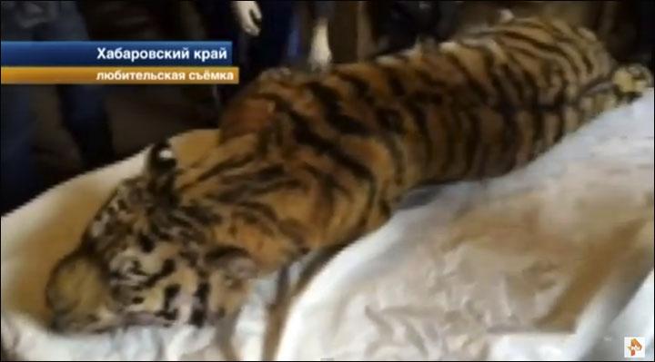 Siberian tiger shot