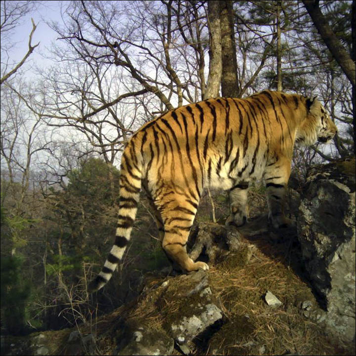Siberian Tiger  Animal Kingdom Facts and Pictures