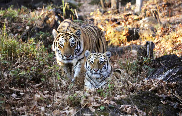 tiger ecology The second edition of tigers of the world explores tiger biology, ecology, conservation, management, and the science and technology that make this possible.