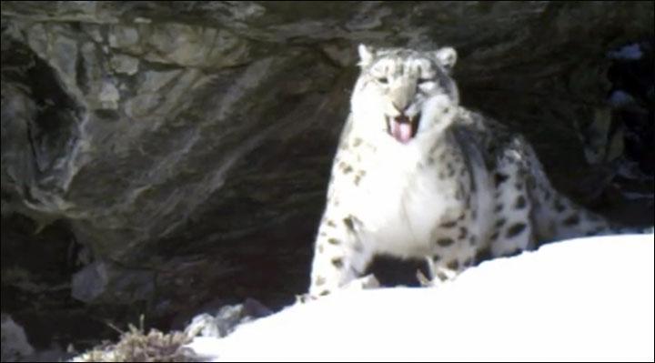 Snow leopards in Ak Cholushpa