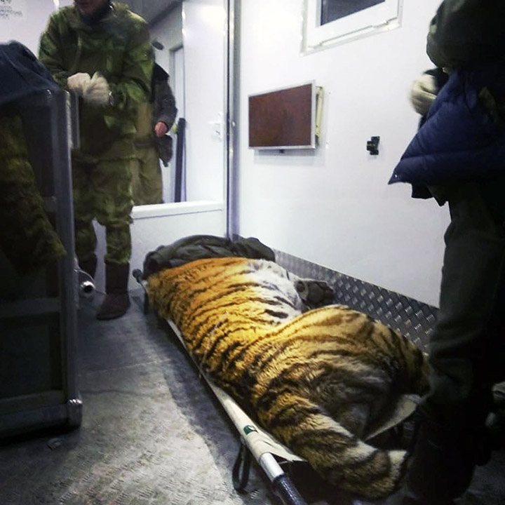 Tiger Tikhon brought to rehab
