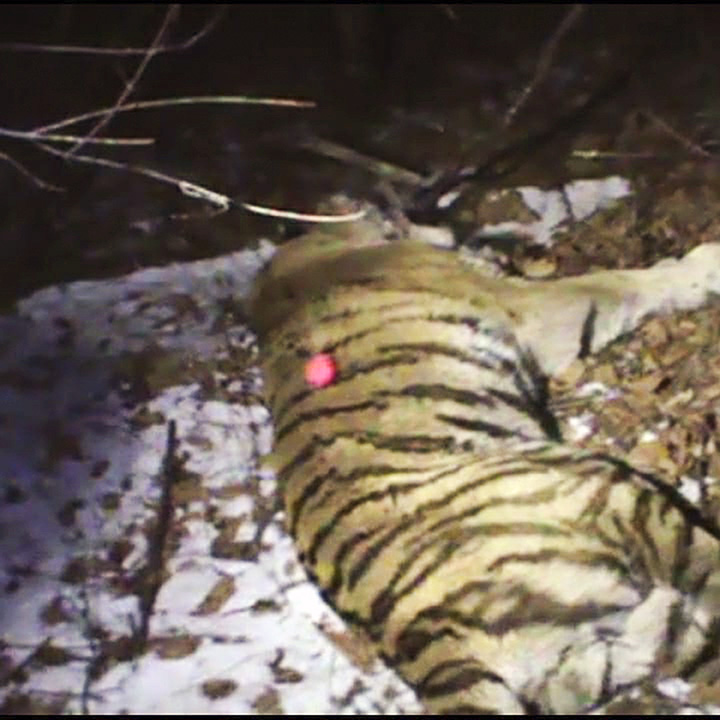Tiger Tikhon sedated