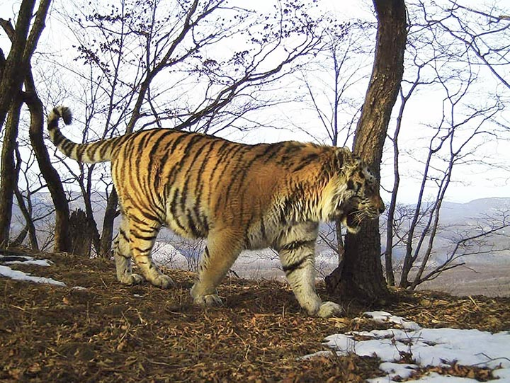 Tiger Tikhon pictured in the Land of Leopard