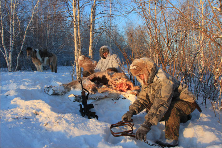 Wolves hunting Siberia