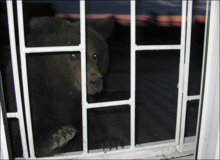 bear asking for a train ticket Siberia