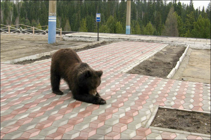 Bear tries to break through the train station