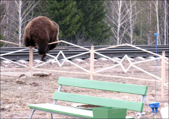 Bear tries to break through train station Siberia