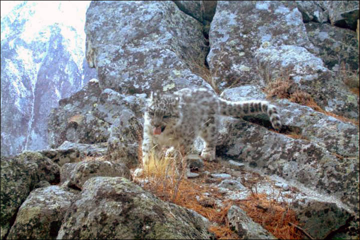 Spotted - two snow leopard cubs in the Altai Mountains captured on camera