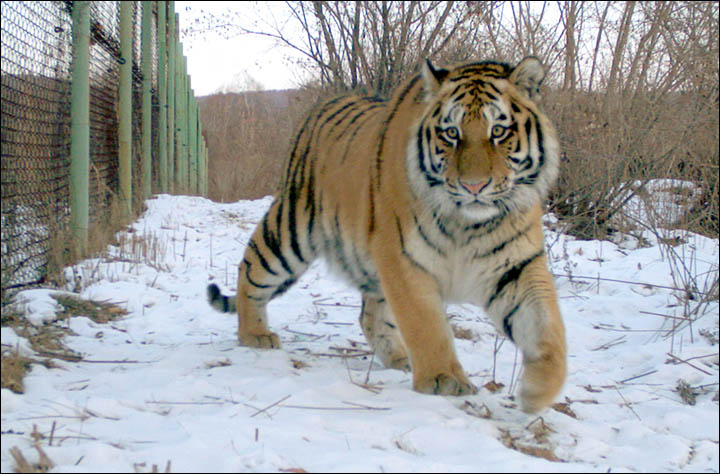 Putin frees three endangered Siberian tiger orphans into the wild