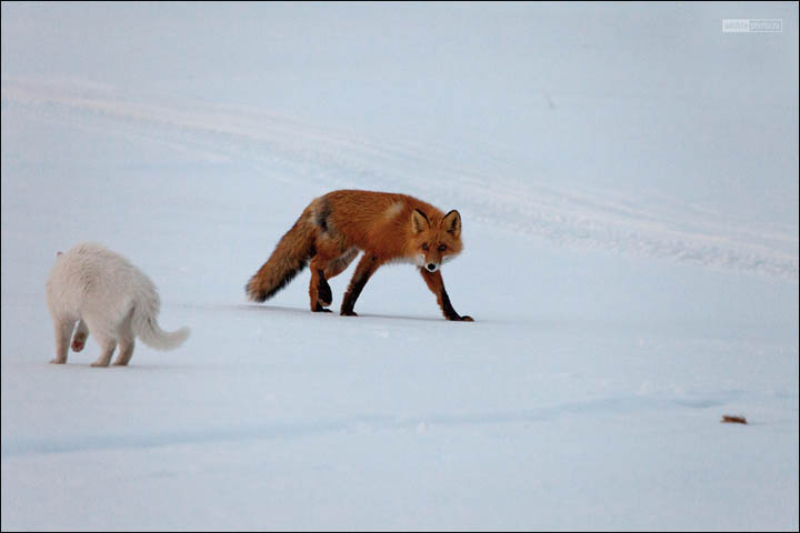 cat and fox, by Sergei Krasnoschekov