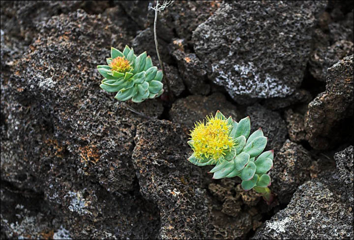 Rhodiola rosea aka 'golden root'