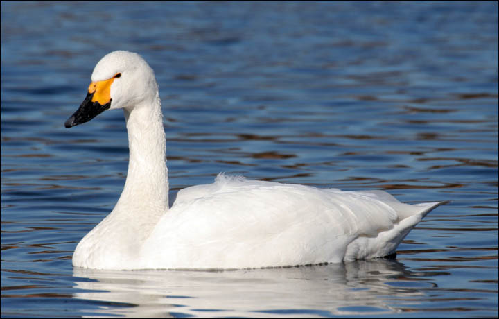 Bewick's swans come to UK from Siberia