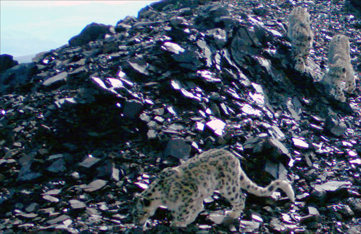 WWF pictures of snow leopard, Altai Mountains, Siberia