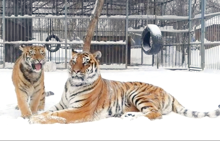 Siberian zoo shares a video of a young tiger using an unusual high-pitched call