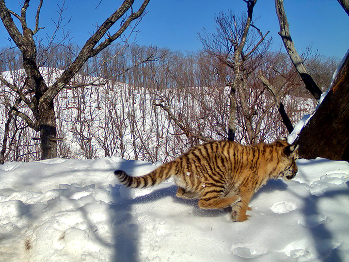 The comeback cats - amazing pictures show family life of Amur tigress and her three cubs