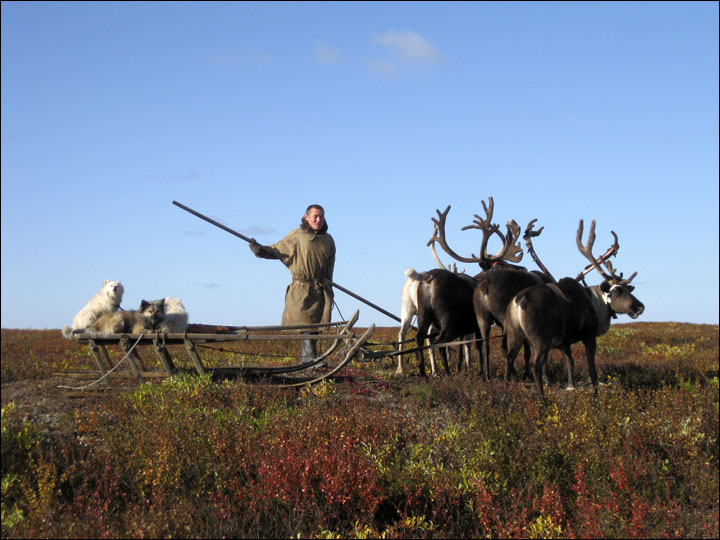 Reindeers and herder