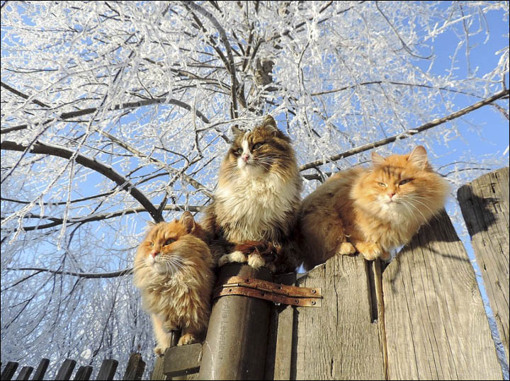 http://siberiantimes.com/PICTURES/OTHERS/Barnaul-cats-Alla-Lebedeva/inside_three_cats_on_the_fence.jpg