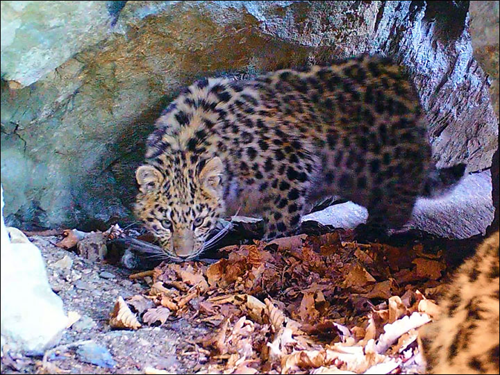 Hero mother Bary boosts population of rarest cats in world with 2 healthy cubs