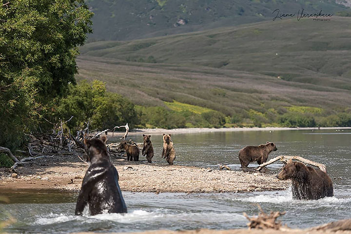 Brown bear cubs fall victim to adult males in Eurasia's largest protected population of the species
