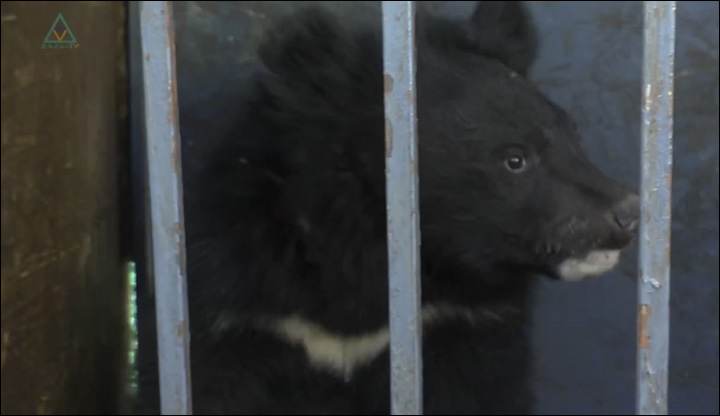 Bear cub in Dalnegorsk