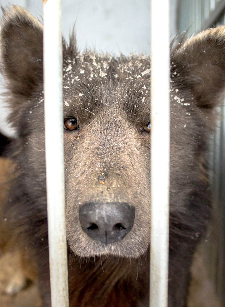 Cruelty behind the 'Bear-Dog' internet sensation