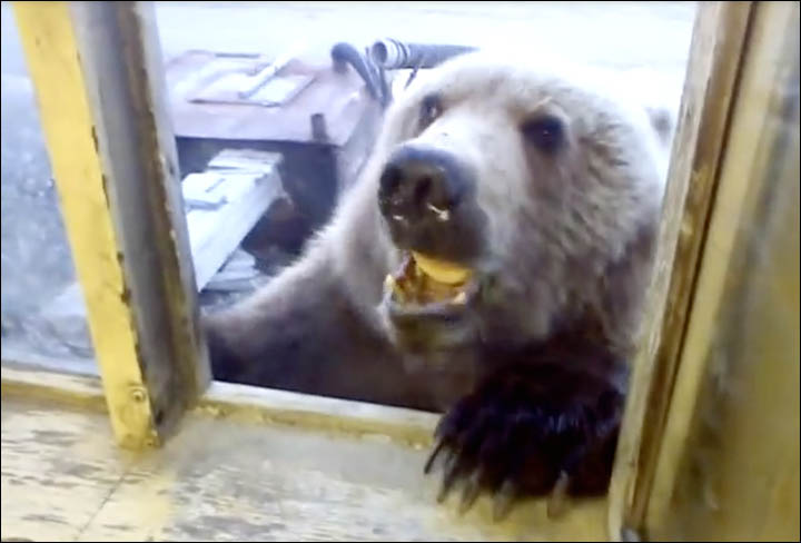 Bear eats biscuits