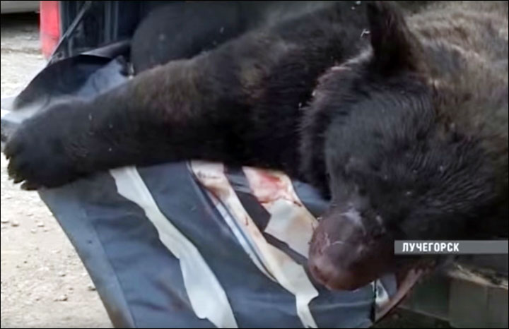 Bear invasion in Luchegorsk