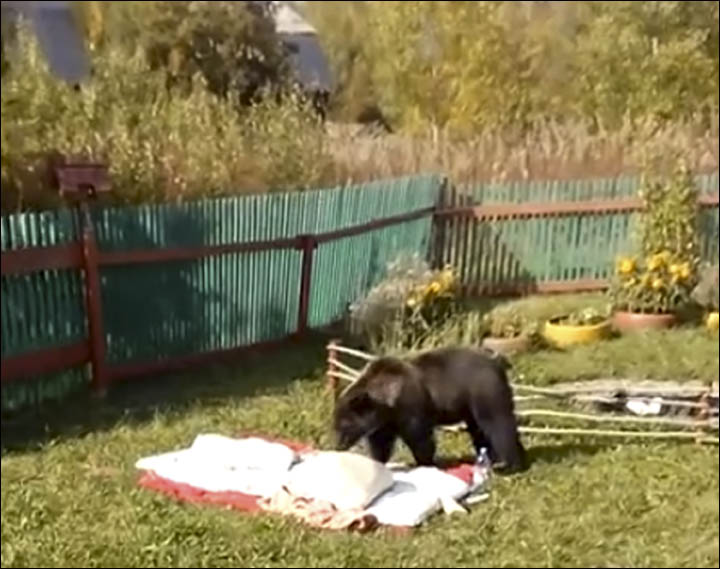 Bear invasion